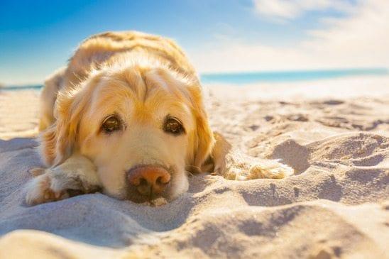 golden retriever in the hot sun