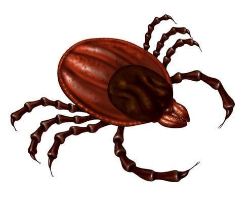 Tick insect close up illustration isolated on a white background as a symbol of a parasite arachnid that sucks blood and infects animals with bacteria and viruses with possible illness as lyme disease and fever.