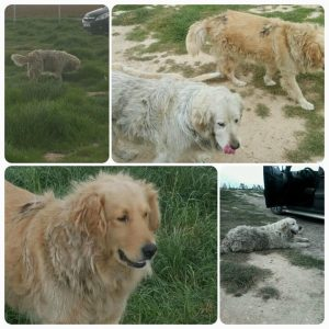 Home Yankee Golden Retriever Rescue Inc
