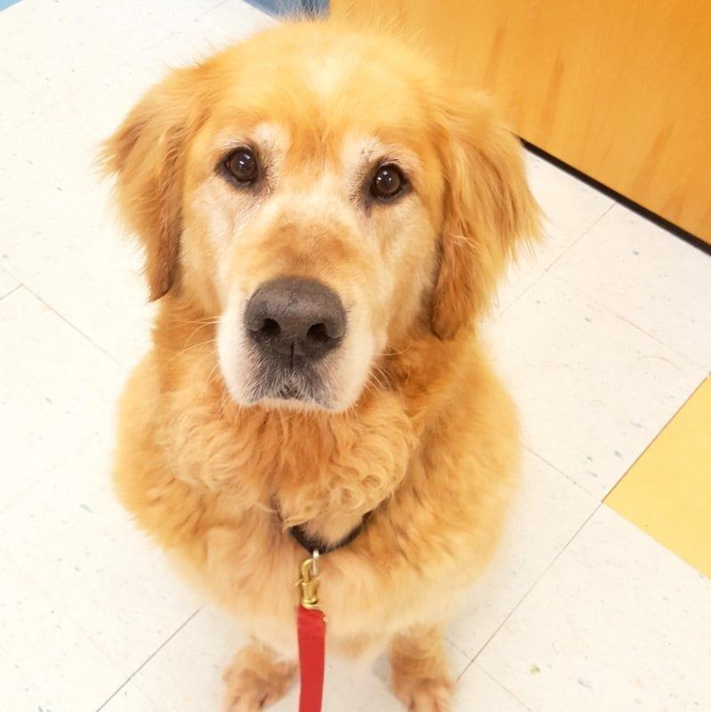 Adopt A Golden Yankee Golden Retriever Rescue Inc